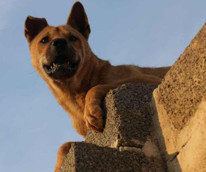 狗狗怎么爬墙?狗狗爬墙的训练方法